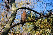 Buzzard Metal Prints - The supervisor Metal Print by Susanne Van Hulst