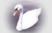 Swan Art Prints - The Swan 2 Print by Stefan Kuhn