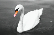 Blackwhite Prints - The Swan Print by Stefan Kuhn