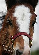 Foal Framed Prints - The Sweet Foal Face Framed Print by Terry Kirkland Cook