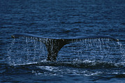 Humpback Posters - The Tail Flukes Of A Humpback Whale Poster by Tim Laman