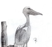 Pelican Drawings Framed Prints - The Teenage Pelican Framed Print by Doug Hiser