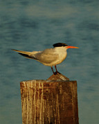 Tern Framed Prints - The Tern Framed Print by Ernie Echols