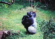 Primates Prints - The Thinker Print by Jan Amiss Photography