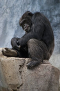 Ape Photo Originals - The Thinker by Michael Madrid