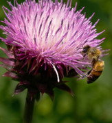 The Thistle And The Stinger Print by Ron Plasencia