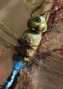 Dragonfly Macro Photos - The Thorax by Carol Groenen