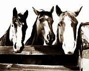 Horse Photos - The Three Amigos in Sepia by Steve Shockley