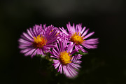 Flower Photographs - The Three Daisies by Anthony Rego