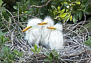 Wading Bird Photos - The Three Stooges by Kenneth Albin