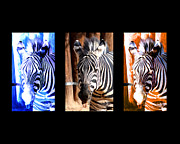 Decor Photography Prints - The Three Zebras black borders Print by Rebecca Margraf
