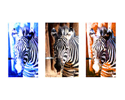 Colorful Decor Framed Prints - The Three Zebras White borders Framed Print by Rebecca Margraf