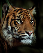 Animus Photography Prints - The Tiger Print by Animus Photography