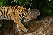 Photograph Of Cat Framed Prints - The Tiger Framed Print by Ernie Echols