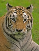Zoo Photo Originals - The tigers stare by Matt MacMillan