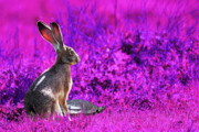 Hare Digital Art Prints - The Tortoise and the Hare . Magenta Print by Wingsdomain Art and Photography
