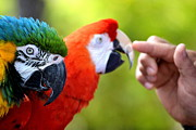 Macaws Posters - The Touch Poster by Fraida Gutovich