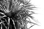 Angela DiPietro - The Tourist Pineapple...