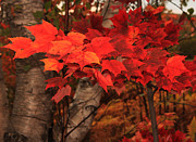 Red Leaves Photos - The True Beauty of Autumn by Marjorie Imbeau