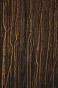 Woodland Scenes Framed Prints - The Trunks Of A Dense Stand Of Aspen Framed Print by Raul Touzon