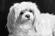 Canine Posters Photos - The Tzar Maltese by Lisa  DiFruscio