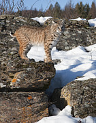 Bobcat Photo Posters - The Vantage Point Poster by Dewain Maney
