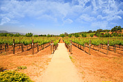 Grape Vineyard Photo Posters - The Vineyard Poster by Cheryl Young