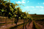 Silver Hills Winery Prints - The Vineyard Print by Jeff Swanson