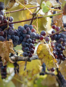 Purple Grapes Photos - The Vineyard by Linda Mishler