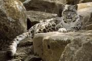 Relaxed Metal Prints - The Watchful Stare Of A Snow Leopard Metal Print by Jason Edwards