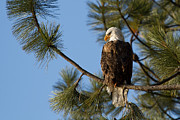 American Bald Eagle Prints - The Watchman Print by Reflective Moments  Photography and Digital Art Images