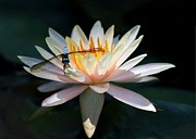 Florida Flowers Photos - The Water Lily and the Dragonfly by Sabrina L Ryan