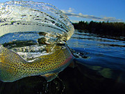 Lake Trout Prints - The Way Of The Trout Print by Brian Pelkey
