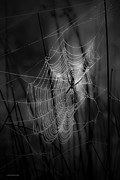 Black Spider Prints - The Weaver Print by Ron Jones