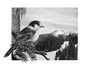 Ornithology Drawings Framed Prints - The Whiskeyjack Framed Print by Logan Parsons