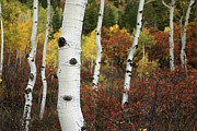 Autumn Views Prints - The White Bark Of Autumn Colored Aspen Print by Charles Kogod