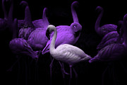 Dances Posters - The White Flamingo Poster by Wingsdomain Art and Photography