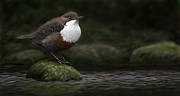 Dipper Digital Art - The White throated Dipper by Deak Attila