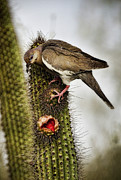 Cactus Fruit Prints - The White Winged Dove  Print by Saija  Lehtonen