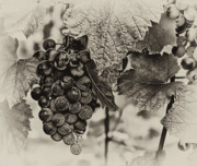 Grape Leaves Posters - The Wine Poster by Carol A Commins