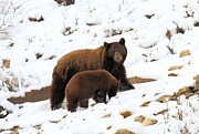 Black Bear Cubs Framed Prints - The Winter Guide Framed Print by Adam Jewell