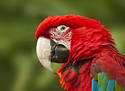 Scarlet Macaw Prints - The Wise One Print by Sandra Bronstein