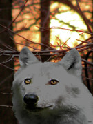 Wolf Photograph Mixed Media - The Wolf Glows Within by Debra     Vatalaro