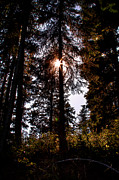Backlit Prints - The Woods at Priest Lake Print by David Patterson