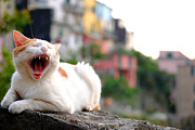 Relaxed Photo Originals - The yawning white cat by Neha Singh