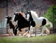 Gypsy Horse Prints - The Yearlings Print by Terry Kirkland Cook