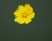 Tickseed Prints - The Yellow Coreopsis Of One Flower Print by A.T. White
