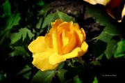 The Yellow Rose Of Garden Print by Tom Buchanan