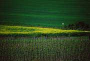 Vineyards Photo Originals - The Yellow Triangle by Franco Franceschi