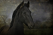 Sue Fulton Posters - The Young Friesian Poster by Sue Fulton